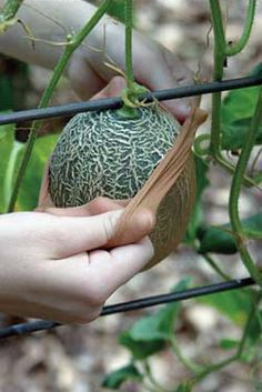 Growing melons- tips & tricks. Use pantyhose to support the melon. Place hose over small melon and tie to trellis. Growing Food, Growing Melons, Fruit Garden, Veggie Garden, Lawn And Garden, Plants, Herbs, Garden Veggies, Organic Gardening