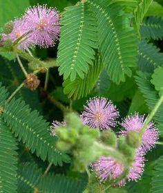 "Mimosa Pudica ""sensitive plant"" plant leaves retract when touched Unusual Plants, Exotic Plants, Perennial Flowering Plants, Perennials, Home Garden Plants, House Plants, Romantic Flowers, Beautiful Flowers, Medicinal Plants"