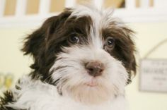 irish pied havanese | chocolate parti havanese puppy girl cocoa tri color chocolate white ...
