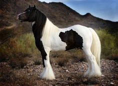 Black Jack's Saxon - Gypsy Vanner - Show Horse Gallery, A Different Horse is Featured Every Day