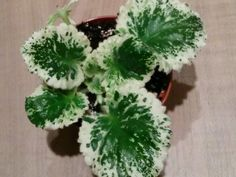 African Violet plant - Cool Mint