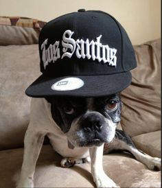 This Boston Terrier is about that thug life.