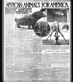 African Animals for America (Louisiana Hippos) ... 29 May 1910