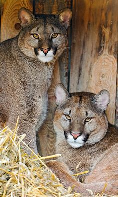 """The Cougar"""" commonly referred to as puma, mountain lion and panther is the second largest cat in North America. Unable to roar like other big cats they purr like a house cat. Big Cats, Cool Cats, Cats And Kittens, I Love Cats, Nature Animals, Animals And Pets, Cute Animals, Wild Animals, Baby Animals"""