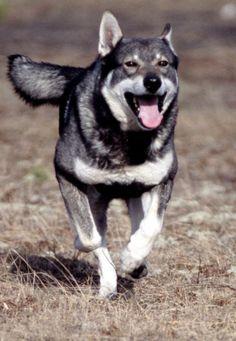 Jämthund / Swedish Elkhound Dog