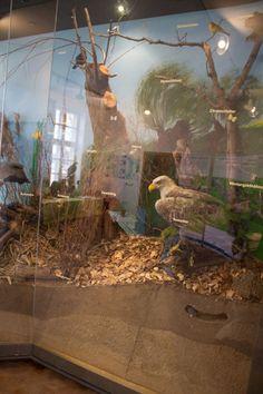 Zusammenarbeit mit dem NABU Schwerin für die Kraniche | Seeadler als Exponat im Ausstellungsraum in der Naturschutzstation Schwerin (c) Frank Koebsch