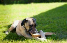 Boerboel  African farm dog