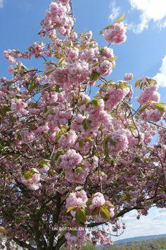 Prunus près de la sous-préfecture de Bellac