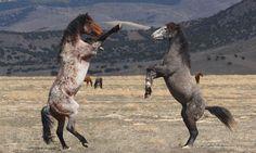 Mustangs Selvagens    http://img.ibxk.com.br/2012/10/programas/950452917129.jpg