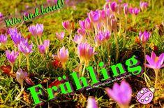 Der Frühling kann kommen ❤ #spring #springstyle #crocus #krokus #purple #green #greenery #garten #gartengestaltung #pflanzenfreude #garden #gardening #botanical #colour #color #naturephotography #jardin