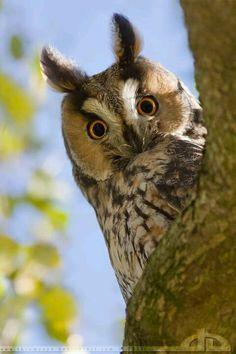 Long-eared owl. #owls