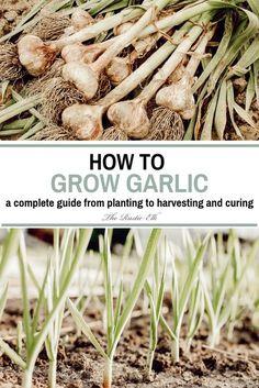 Olive Garden, Autumn Garden, Easy Garden, Garden Ideas, How To Garden, Growing Garlic From Cloves, Grow Garlic, How To Plant Garlic, Planting Garlic In Fall