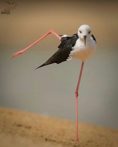 You put your right leg in. ✨Black-winged Stilt ✨Location : Abu Dhabi ------------------------------------------- Thanks for sharing this fantastic bird capture. For more great photos visit the gallery of Pretty Birds, Love Birds, Beautiful Birds, Animals Beautiful, Nature Animals, Animals And Pets, Funny Animals, Cute Animals, Exotic Birds