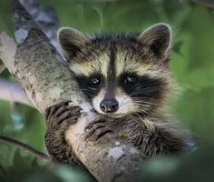 Baby Raccoon caught by surprise.