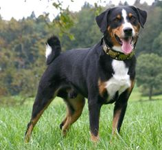 Appenzeller Sennenhund Dog Breed The Appenzeller Sennenhund is a medium-size breed of dog, one of the four regional breeds of Sennenhund-type dogs from the Swiss Alps. The name Sennenhund refers to people called Senn, herders in the Appenzell region of Switzerland. Wikipedia