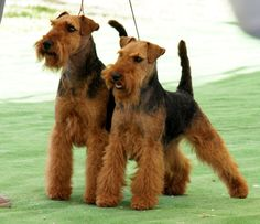 If we ever get another dog I thinl this will be my next dog ... Welsh Terrier