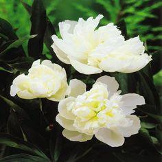 Peony lactiflora White - 1 plant buy online order now