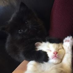 #blackandwhite #snowwhite #blackpearl #siblings #white #black #friends #love #cute #brotherandsister Black Kittens, Siblings, Snow White, Photo And Video, Friends, Cats, Animals, Instagram, Amigos