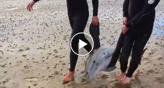 Surfistas Fazem Extraordinário Resgate De Família De Golfinhos Que Ficou Encalhada Na Praia