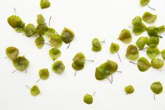 new poplar leaves (mary jo hoffman)