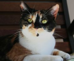 Muffin was born 5/25/10.  She is very sweet and gets along well with other cats.  She sits in the window and watches people as they come up the sidewalk. She loves to have her photo taken and will pose for you.You can contact her adoption counselor...