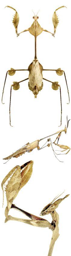 Gongylus gongylodes Violin Mantis