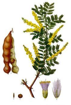 Acacia senegal: True gum arabic