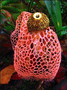 (Phallus indusiatus) Veiled Stinkhorn Fungus