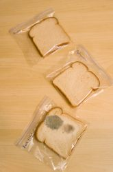Making mold using bread, sandwich bags and water. Ewwww so neat.