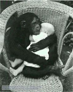 chimp cradling a human baby. Adorable as this picture is, I can't help but think of the woman whose face & hands were ripped off by a chimp attack. Maybe not so adorable. Primates, Cute Baby Animals, Animals And Pets, Funny Animals, Wild Animals, Beautiful Creatures, Animals Beautiful, Printable Animals, Human Babies