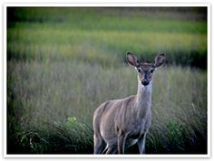 Staying on Seabrook Island. Information on how to get to the Town of Seabrook Island and resources for where to stay. Palmetto Tree, Seabrook Island, Charleston South Carolina, Spring Break, Kangaroo, Breeze, Deer, Wildlife, Spaces