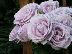 <3 Mas rosas