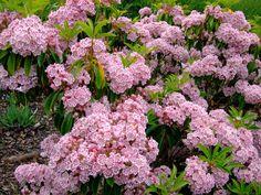 https://flic.kr/p/LYraHW | Kalmia latifolia 'corousel'…