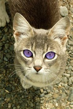 Purple-eyed Cat A dairy cat with some Photoshop modifications. (I wish I could see the original photo. This is a beautiful cat, what ever color eyes it has.) Real Purple Eyes, Purple Cat, Purple Stuff, Green Eyes, Blue Eyes, Violet Eyes, Cat Cat, Kitty Cats, Cute Cats And Kittens