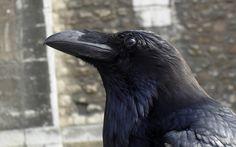 crows ravens 1920x1200 wallpaper_www.wallpaperno.com_50.jpg (420×262)