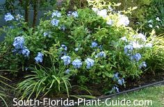 blue plumbago- Butterflies LOVE it! A fast growing evergreen shrub. Needs full to part sun, moderately drought tolerant & cold tolerant. Plants, Florida Landscaping, Shrubs, Tropical Plants, Trees To Plant, Blue Plumbago, Fast Growing Evergreens, Garden Shrubs, Tropical Landscaping