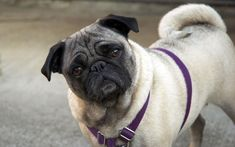 The pug training information you will read here was developed by a panel of renowned dog training experts whose.