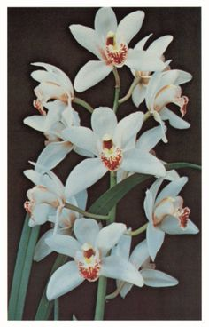 The cymbidium orchid is popular for its lovely, long-lasting flowers. Learn about this orchid's history and ideal growing conditions in this article. Miltonia Orchid, Dendrobium Orchids, Blue Orchids, Indoor Orchids, Orchids Garden, Orchid Drawing, Orchids Painting, Orchid Centerpieces, Types Of Orchids