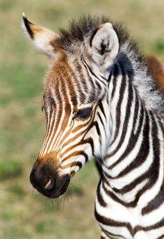 *baby zebra