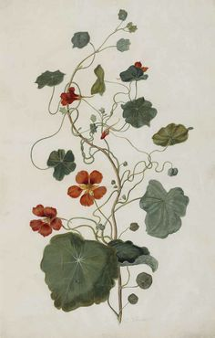 "thefullerview: ""Nasturtium, Indian cress. Tropaeolum majus Moninckx atlas, Moninckx, J., vol. 1 (1682) (by Swallowtail Garden Seeds) """
