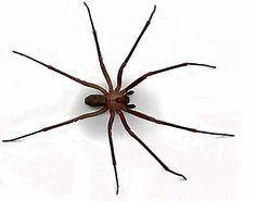 Languedoc-Roussillon : gare aux morsures de la recluse brune, une petite araignée