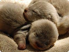 Sleeping otters- adorable!♥