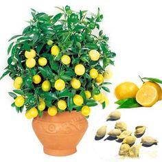30 pieces/bag Lemon Tree Seeds High Survival Rate Bonsai Fruit Seeds For Home Gatden Bonsai Lemon Seeds Organic Fruit Seeds