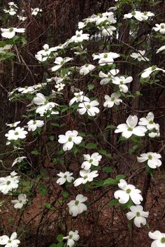 2015 - Dogwoods blooming at Daingerfield State Park in far northeast Texas