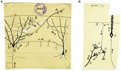 Ramon y Cajal //Circuit responsible for feed-forward inhibition in the dentate gyrus