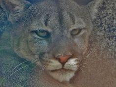 Cougar by Kathleen Mendel