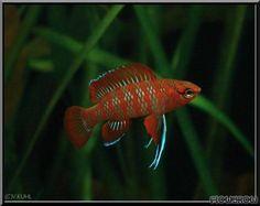 Dario dario - Scarlet Blaubarsch - Flowgrow Fish Database