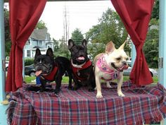 frenchie kissing booth at a fundraiser for French Bulldog Rescue Network
