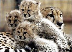 Cheetah Cubs w/ mum. Here is a link to a pix I can't pin that is so cute. One cheetah cub atop siblings squishing face.  http://animals.nationalgeographic.com/animals/photos/cheetahs-of-the-kalahari/?source=email_wild#/cheetah-cubs-den_48287_600x450.jpg