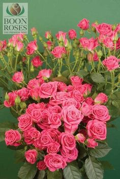 LOVELY LYDIA : Bright Pink Spray Rose with flowers open to 2cm. Flowers tend to be round in shape.